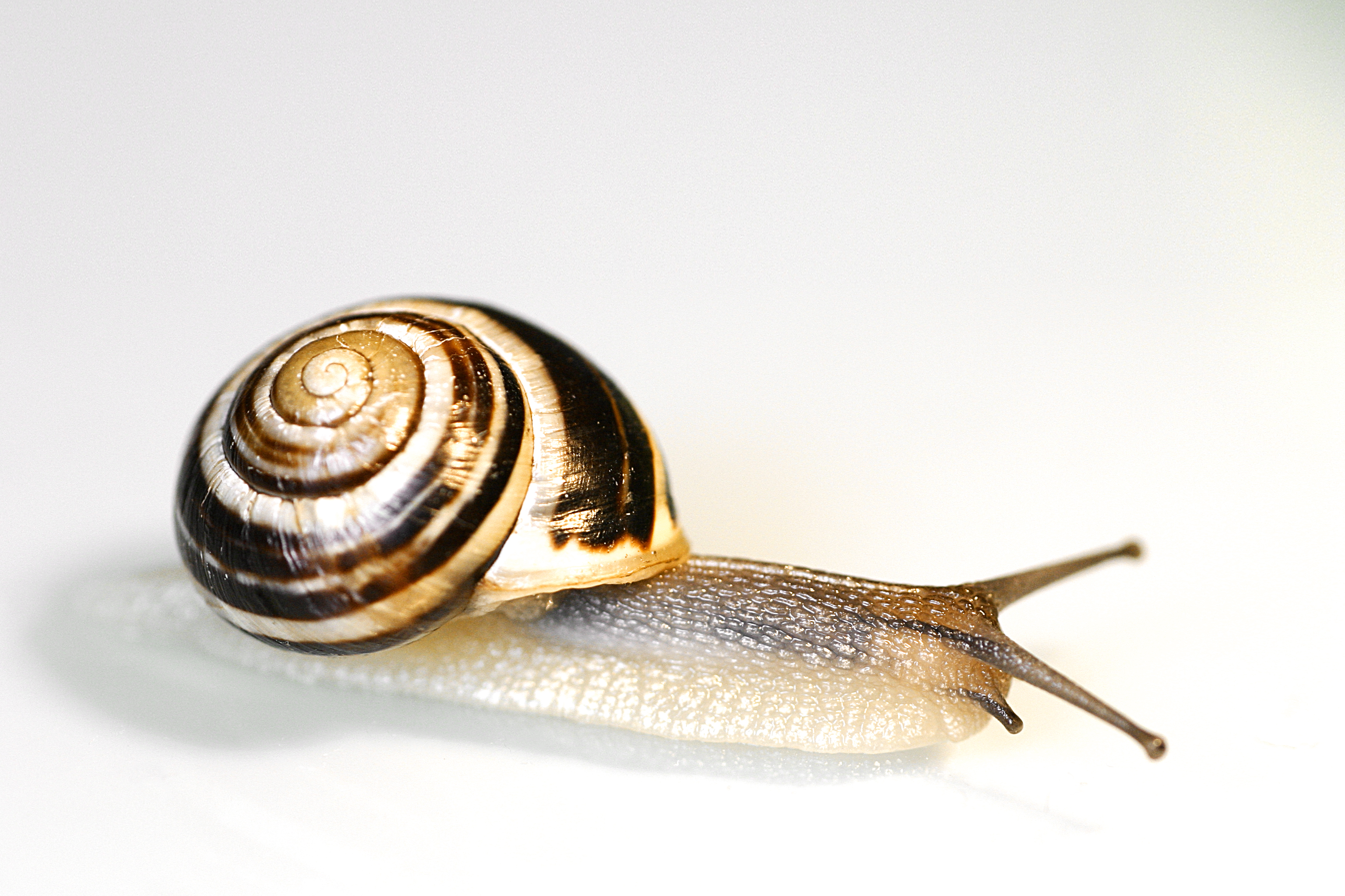 snail-secretion